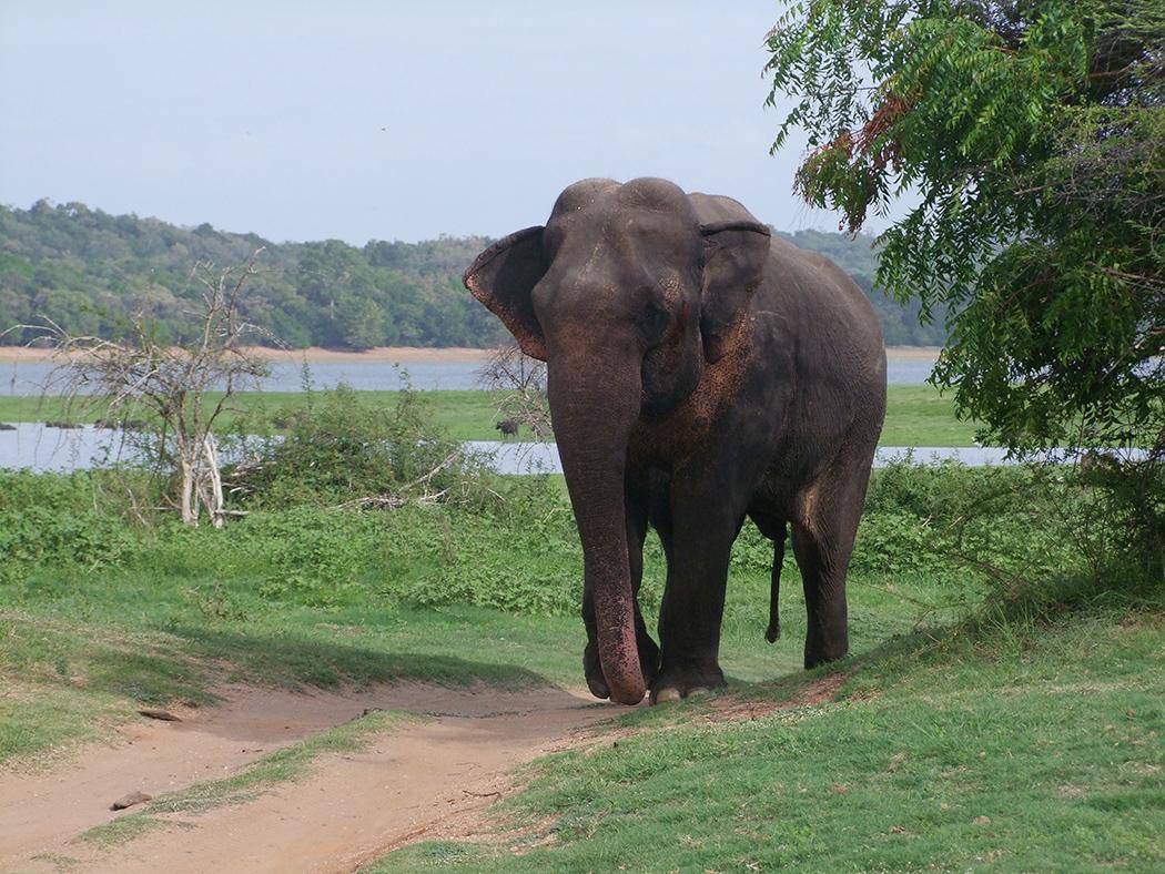 Olifant in natuurpark